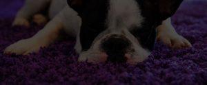 puppy sleeping on comfy carpet floor